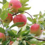 東京産・青森産を食べ比べ!リンゴフェア